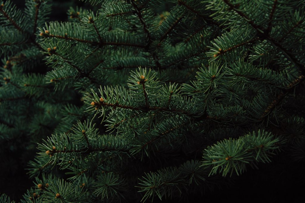 Close up of evergreen tree pine needles